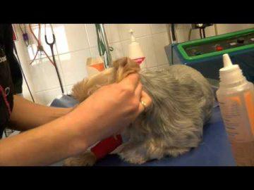 Comment nettoyer les oreilles de votre chien